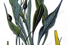 Plant-Illustration-of-Black-salsify