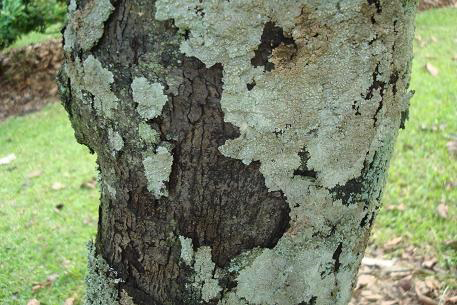 Bark-of-Black-Sapote