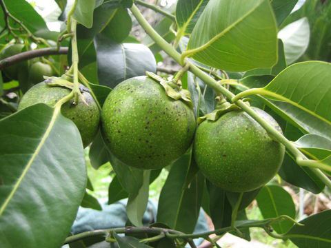 Black-Sapote-fruit-on-the-tree