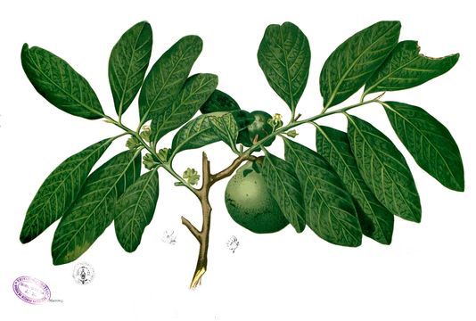 Plant-Illustration-of-Black-Sapote