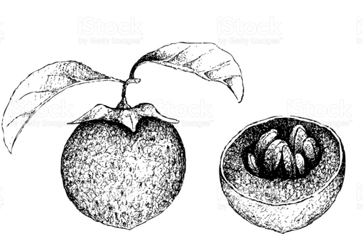 Sketch-of-Black-Sapote