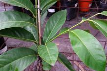 Leaves-of-Black-Sapote