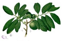 Plant-Illustration-of-Black-Sapote