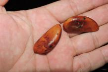 Seeds-of-Black-Sapote