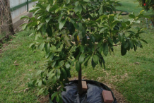 Small-Black-Sapote-tree