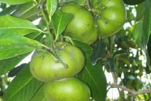 Unripe-Black-Sapote-fruit
