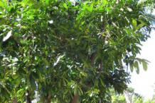 Black-Sapote--plant