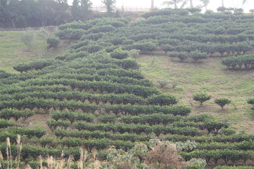 Camellia-sinensis-farm