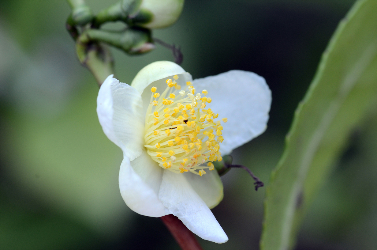 Close-view-of-Camellia-sinensis-flower