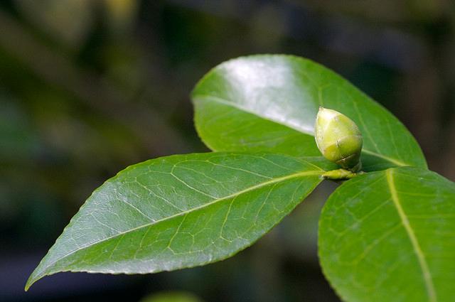 Flower-bud-of-Camellia-sinensis