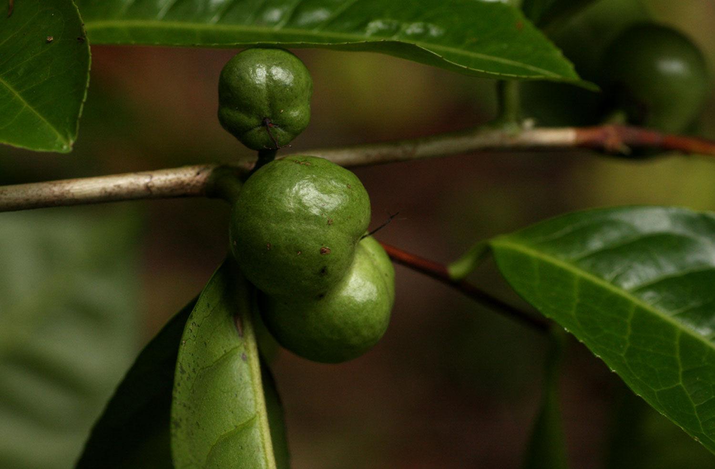 Fruit-of-Camellia-sinensis