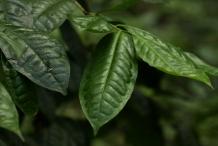 Camellia-sinensis-leaves
