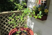 Camellia-sinensis-plant