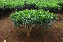 Camellia-sinensis-shrub