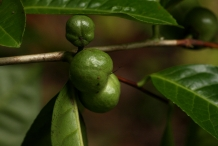 Fruit-of-Camellia-sinensis