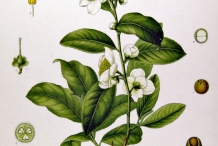Illustration-of-Camellia-sinensis