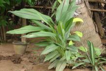 Black-Turmeric-Plant