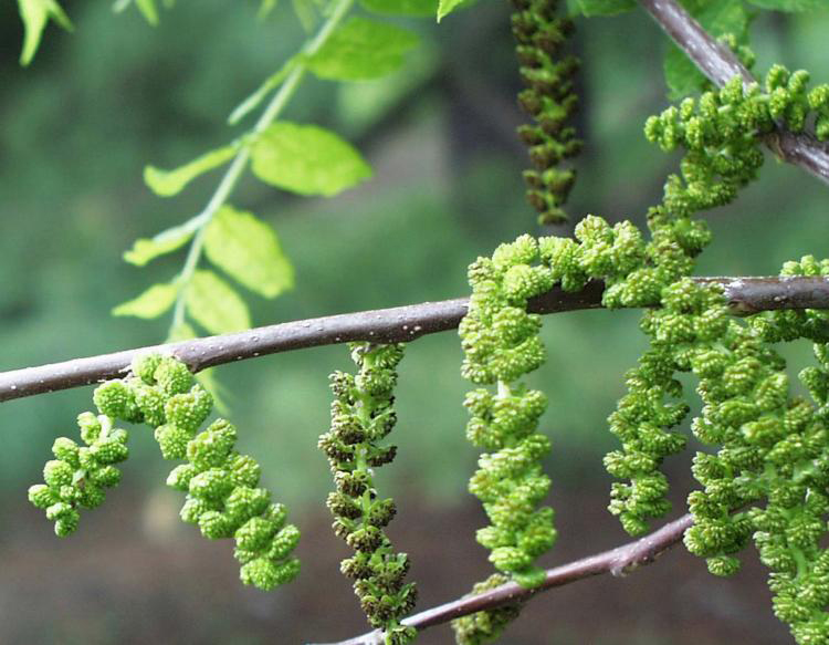 Black-walnut-flower