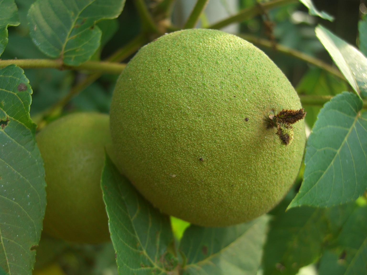 Black-walnut-fruit-unripe
