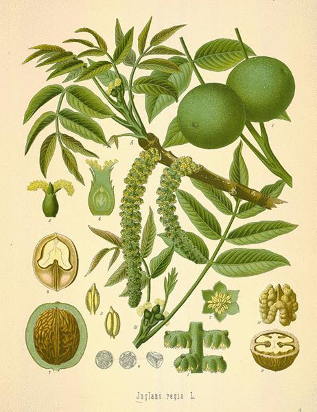 Black-walnut-illustration
