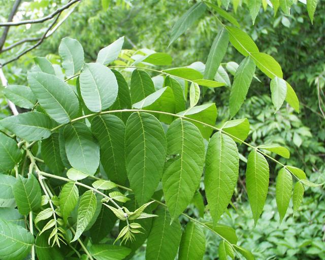 Black-walnut-leaves