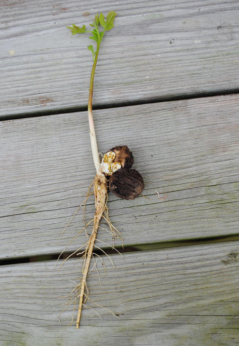 Black-walnut-seedling