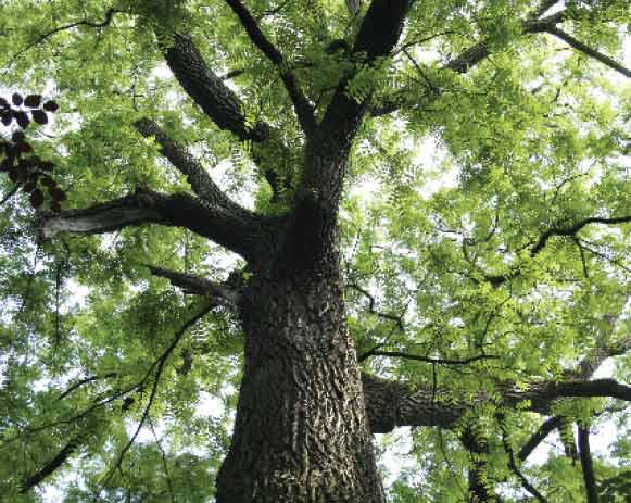 Black-walnut-trunk