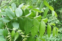Black-walnut-leaves