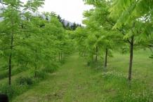 Black-walnut-farm