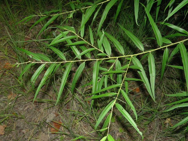 Black-willow-leaves