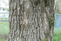 Black-willow-bark