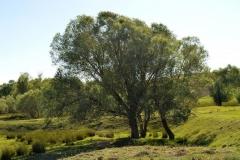 Black-willow-tree