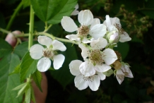 Close-up-flower-of-Blackberries