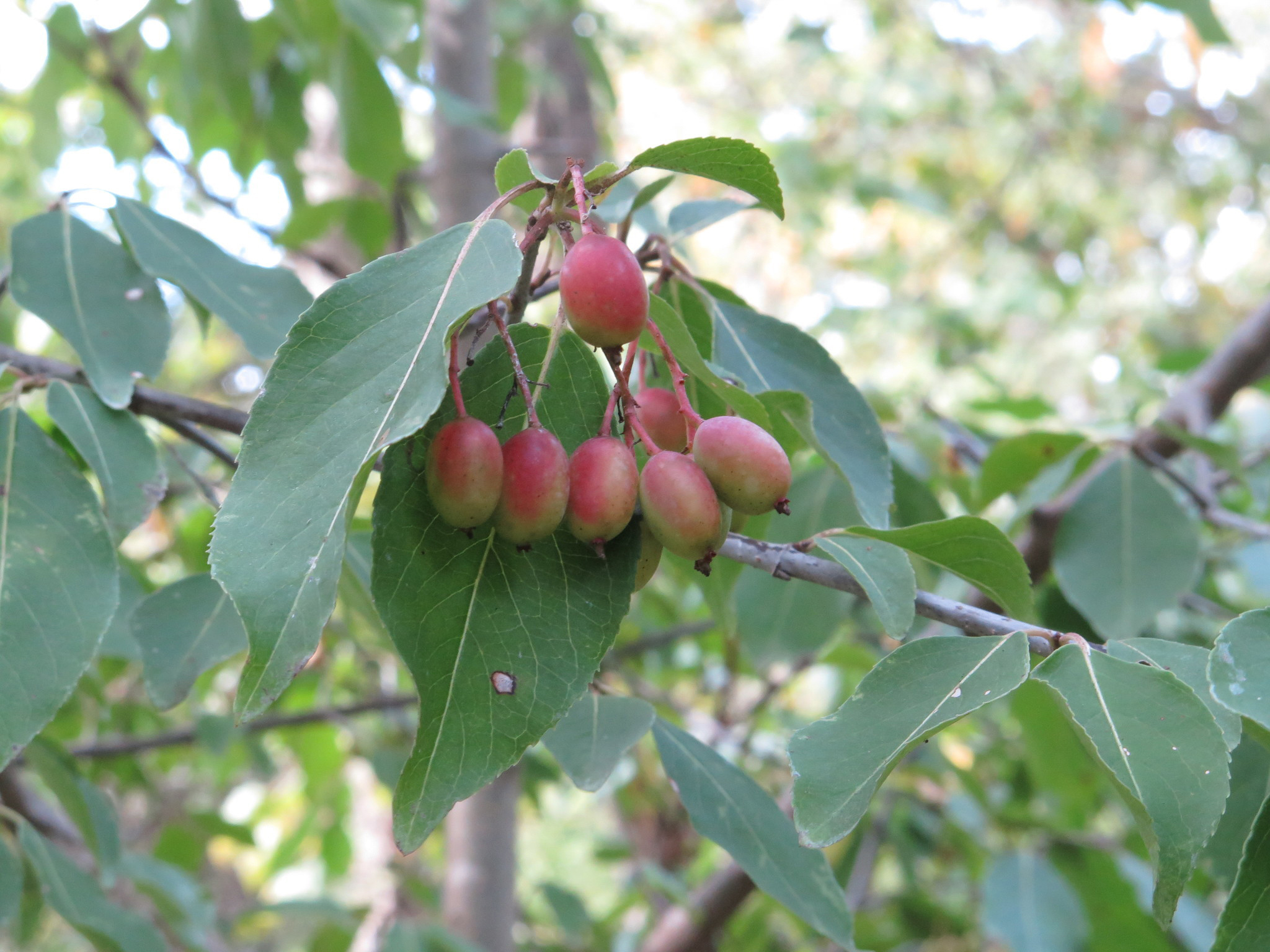 Blackhaw fruit