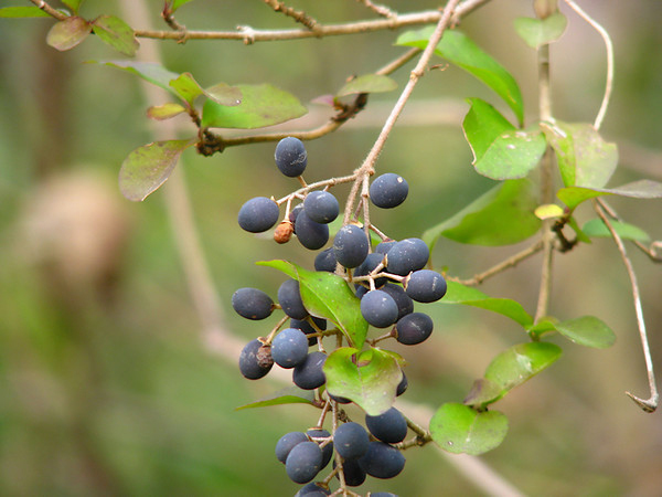 Blackhaw-mature-fruit
