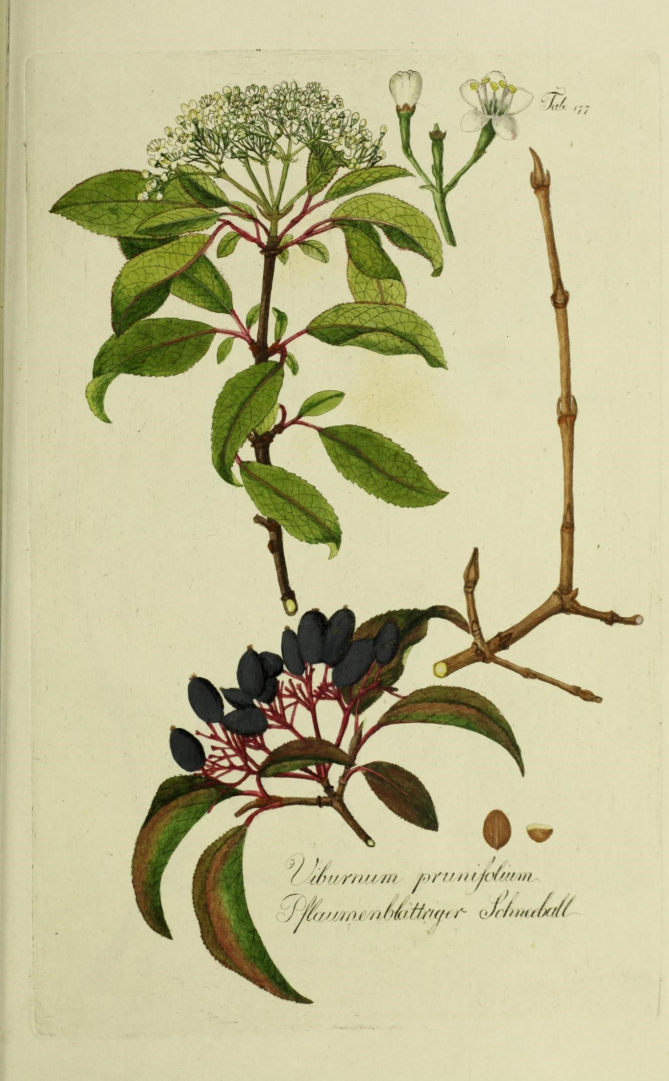 Illustration-of-Blackhaw