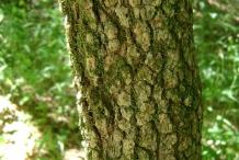 Blackhaw-bark