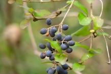 Blackhaw-mature-fruit