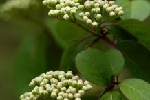 Flower-bud-of-Blackhaw
