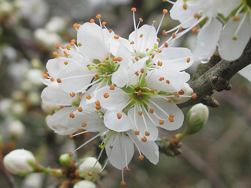 Closer-view-of-Blackthorn-flower