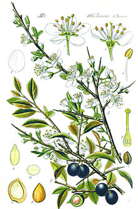 Plant-Illustration-of-Blackthorn
