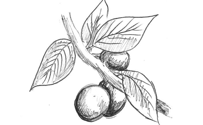 Sketch-of-Blackthorn