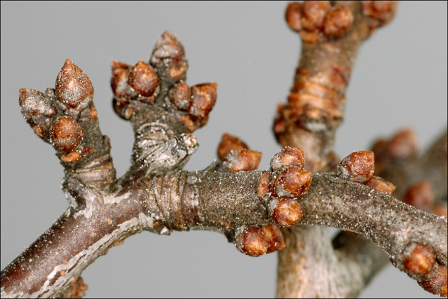 Winter-buds-of-Blackthorn