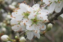 Closer-view-of-Blackthorn-flower