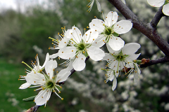 Blackthorn-flower