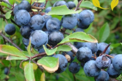 Blackthorn-fruit-on-the-tree
