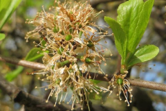 Initial-stage-of-fruit-developing-from-flower