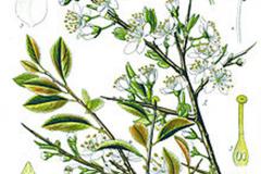 Plant-Illustration-of-Blackthorn