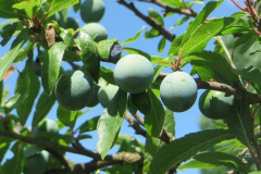 Unripe-blackthorn-fruit