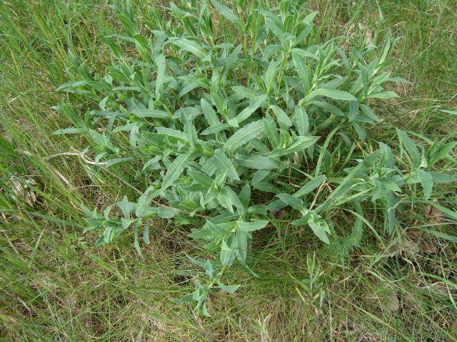 Bladder-campion-plant-growing-wild
